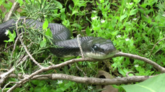 Black Rat Snake Close-Up Stock Footage