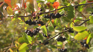 Stock Video Footage of Aronia.