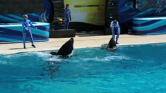 SeaWorld trainers work with Killer Whales HD 8930 - stock footage