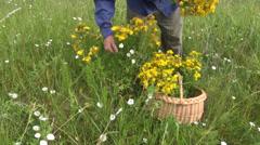 Picking  medical herb tutsan Hypericum perforatum flower on summer meadow Stock Footage