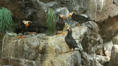 Tufted Puffin Sea Bird on rocks wildlife sanctuary HD 9018 - stock footage