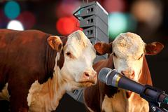 Two cows giging performance Stock Photos