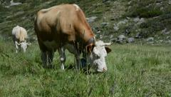 Grazing Swiss Alps Cow - stock footage