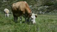 Stock Video Footage of Grazing Swiss Alps Cow
