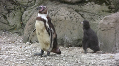 Adult penguin with chick Stock Footage