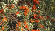 Stock Video Footage of Sea-buckthorn.