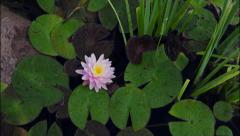 Pond Lily Study - 5K - Time Lapse Stock Footage