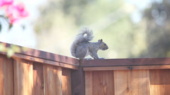 Vocalizing squirrel on fence Stock Footage