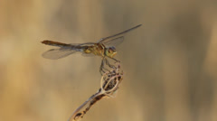 Dragonfly Poised on Stalk Stock Footage