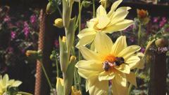 Bumblebee Pollinates Flower Stock Footage