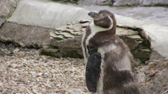 Magellanic penguin standing and looking around Stock Footage