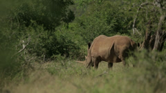 Two Rhinos Stock Footage