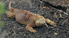 Galapagos iguana Stock Footage
