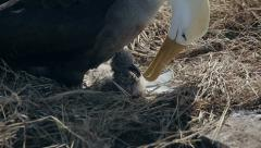 Albatross and chick in the nest on Galapagos Islands Stock Footage