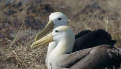 Albatross on the Galapagos Islands Stock Footage