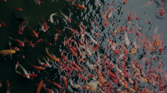 Decorative red fish in the water pool - stock footage