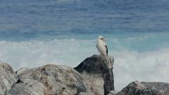 Gannet bird on rock at Galapagos Islands - stock footage