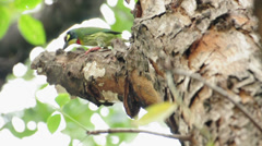 Coppersmith barbet bird burrowing a nest hole in the tree. Stock Footage