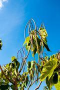 catalpa genus of plants in the family bignoniaceae - stock photo