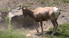Rams, Elk, Moose, Mammals, Zoo Animals, Wildlife Stock Footage