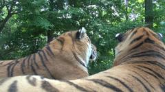 Tigers, Lions, Cubs, Felines, Animals, Wildlife Stock Footage