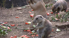 Prairie dog cub chewing food Stock Footage