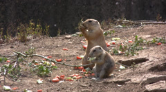 Prairie dogs feeding in a nature reserve long shot Stock Footage