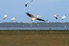 Flock of white pelicans in flight Stock Photos