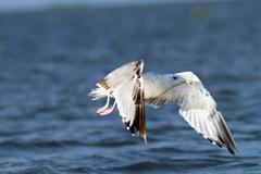 larus argentatus in flight over water - stock photo