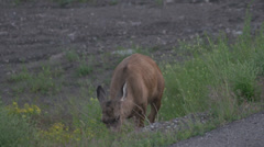 White tail deer grazing, tight frame, evening Stock Footage