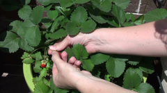 Woman picking delicious organic ripe strawberries from the garden pot Stock Footage