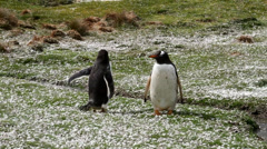 Gentoo Penguin walking around Stock Footage