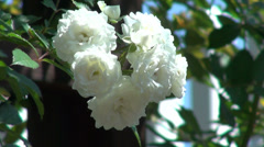 Beautiful white roses in the romantic garden, open roses, summer, backyard Stock Footage