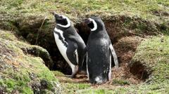 Magellanic Penguin Stock Footage