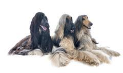 Afghan hounds Stock Photos