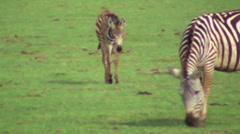 Zebra 2 Stock Footage