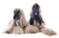 Afghan dog Stock Photos
