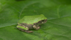Gray Treefrog (Hyla versicolor) 4 Stock Footage