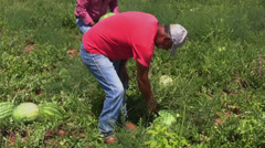 Workers harvest melons 5 Stock Footage