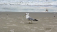 Stock Video Footage of Seagull Eating