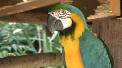 Blue and yellow macaw medium close up with audio Stock Footage