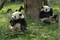 Giant pandas feeding Stock Photos