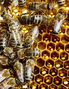 Working bees on honeycomb Stock Photos