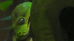 Emerald Tree Boa Snake Stock Footage