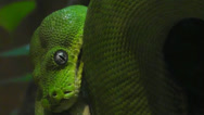Stock Video Footage of Emerald Tree Boa Snake