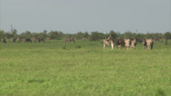 Stock Video Footage of Group of Burchell's Zebra