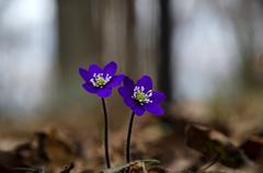 Stock Photo of two deep blue anemones