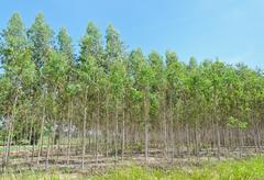 eucalyptus plantation - stock photo