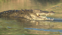 Hunting crocodiles in shallow water Stock Footage