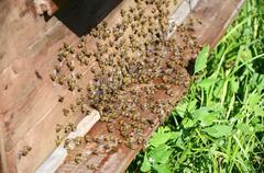 Bees near a beehive Stock Photos